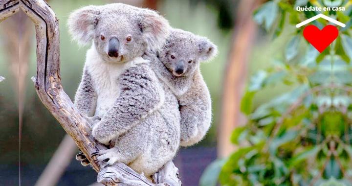 DECLARAN AL KOALA 'FUNCIONALMENTE EXTINTO' EN AUSTRALIA