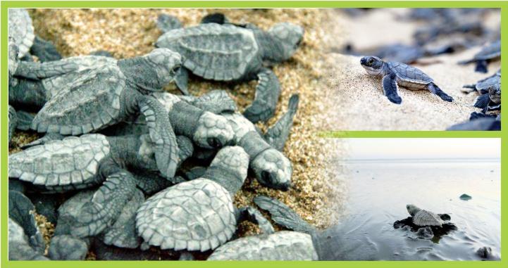 Tortuga Marina, una especie protegida en Riviera Nayarit